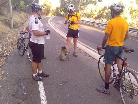 Thirsty Koala in Adelaide