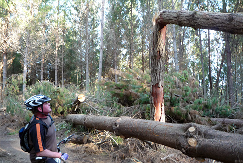 Radiata Pine Blown Down at Craters of the Moon